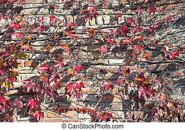 Climbing plant on old brick wall background