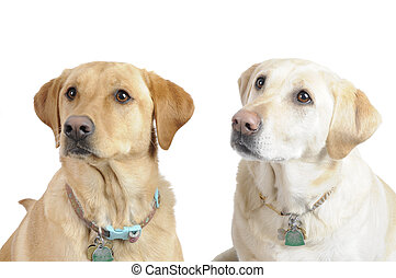 White Labradors - A female White Labrador dogs looking...