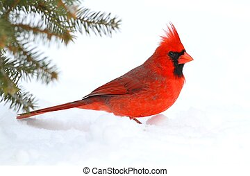 Male Cardinal In Snow - Male Northern Cardinal (cardinalis...