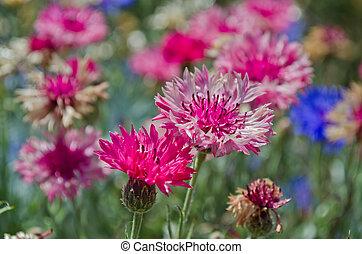 Cornflower blooming - Pink cornflower blooming in garden