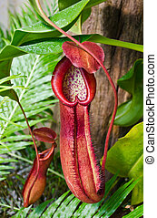 Pitcher plant - Colorful Pitcher plant growing in tropical...