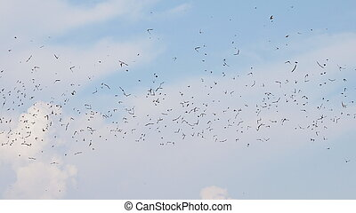 flock of birds swallows Sand Martin,  riparia riparia