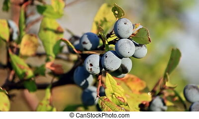 Blackthorn berries Prunus Spinosa - Blackthorn berries at...