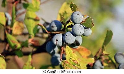 Blackthorn berries (Prunus Spinosa) - Blackthorn berries at...