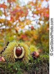 Chestnut in autumn forest