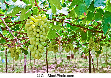 grape fruit - Bunch of green grape fruit in farm