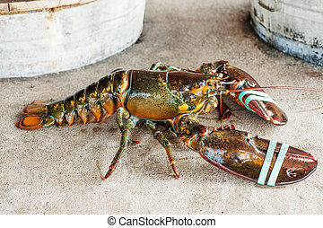 Live lobster - Wild caught lobster on the restaurant table...