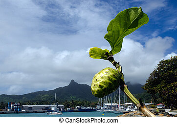 Morinda citrifolia tropical tree - Noni fruit and leaf on...