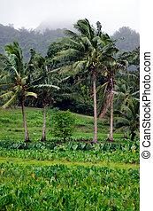 Taro crops in Tropical Island - Taro crops in Rarotonga,...