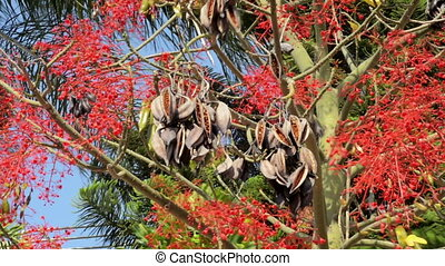 Bottle tree seed pods in the wind
