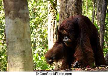 The King of the Jungle - Wild orangutan at Tanjung Puting...