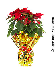 Christmas poinsettia isolated on white background with...