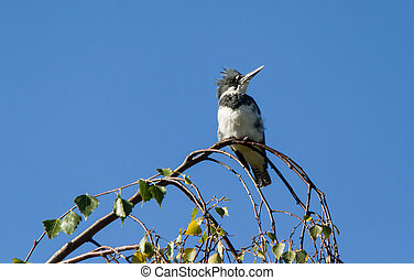 Belted Kingfisher - Male Belted Kingfisher