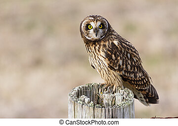 Short eared Owl - Short-eared Owl, at Boundary Bay, Delta,...