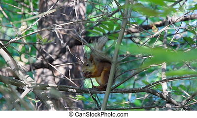 Squirrel on branch eating a nut