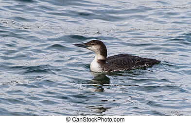 Common Loon, at BC, Canada