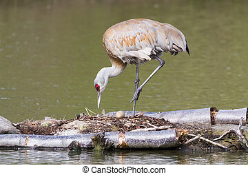sandhill crane Nesting on the nest and egg