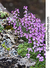 pink flower and rock,  saxifrage and erinus alpinus