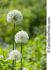 alium onion flower - White alium onion flower close up shot