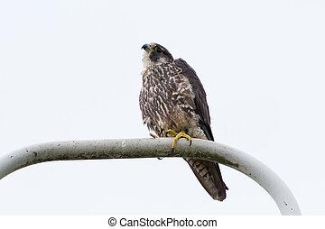 Peregrine Falcom  - Peregrine Falcom, bird of prey