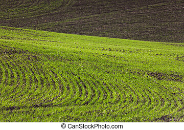 Farm Land, green wheat fields