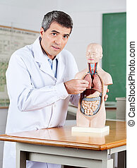 Male Teacher Examining Anatomical Model At Desk - Portrait...