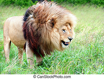 Bad hair day - The mane of a lion is roufled by the wind.