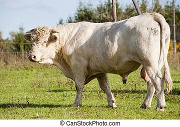 Hungarian gray cattle bull outdoors