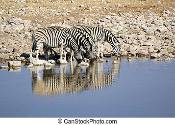 Herd of Burchells zebras drinking water in Etosha wildpark,...