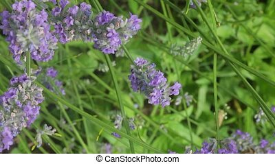 butterfly on lavender flower - View of a butterfly on...