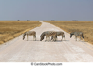 Herd of Burchell?s zebras crossing road in Etosha wildpark,...