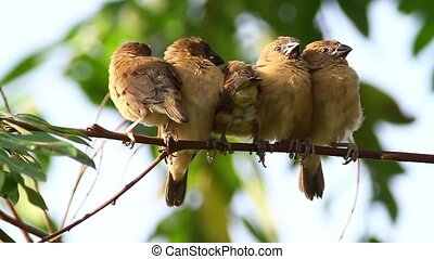 Sleepy Birds 2 - Scaly Breasted Munia chicks trying to take...