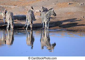 Herd of Burchellacute;s zebras drinking water in Etosha...