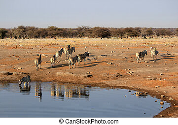 Herd of Burchell?s zebras drinking water in Etosha wildpark,...