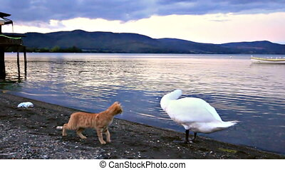 Cat and swan - A cat tries to attack a swan, but the swan...
