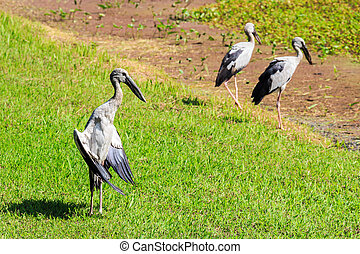 Open-billed stork, Asian openbill(Anastomus oscitans) wading...