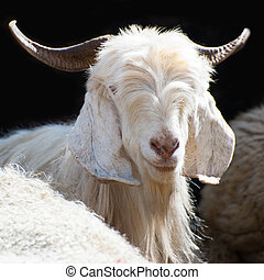 White kashmir goat from Indian highland farm - White kashmir...