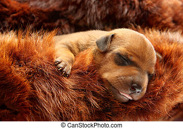 The Miniature Pinscher puppy, 5 day old