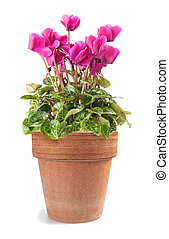 cyclamen in vase - cyclamen flowers with vase isolated on...