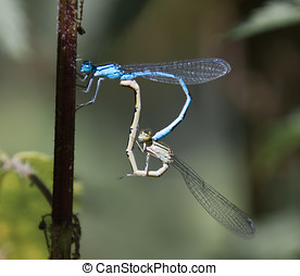 common blue damselfly mating on stinging nettle