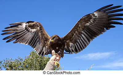 Lesser spotted eagle - Releasing to wild a rescued lesser...