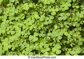 Clovers and moss - A carpet of clovers and moss growing in a...