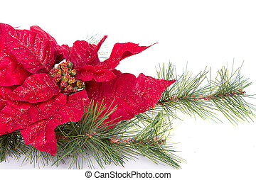 A red Christmas poinsettia on a white background