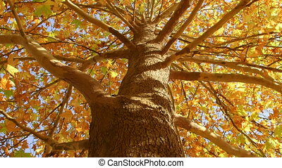 DOLLY: Autumn maple tree - Autumn maple tree from the...