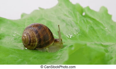 Snail shot out its horns on green leaf of lettuce