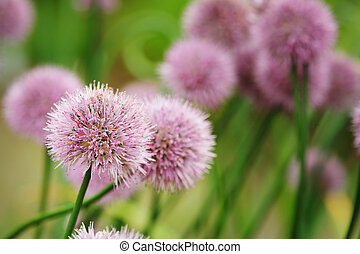 Chives onion plant blossoming Short depth of field