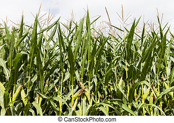 Green corn food plant farm field