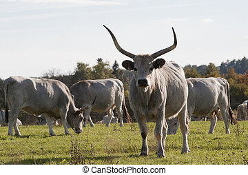 Hungarian gray cattle outdoors