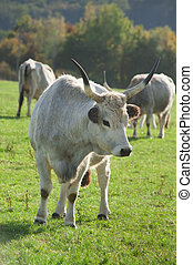 Hungarian gray cattle is standing on the grass