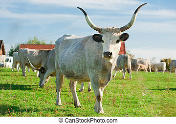 Hungarian gray cattle standing on the grass